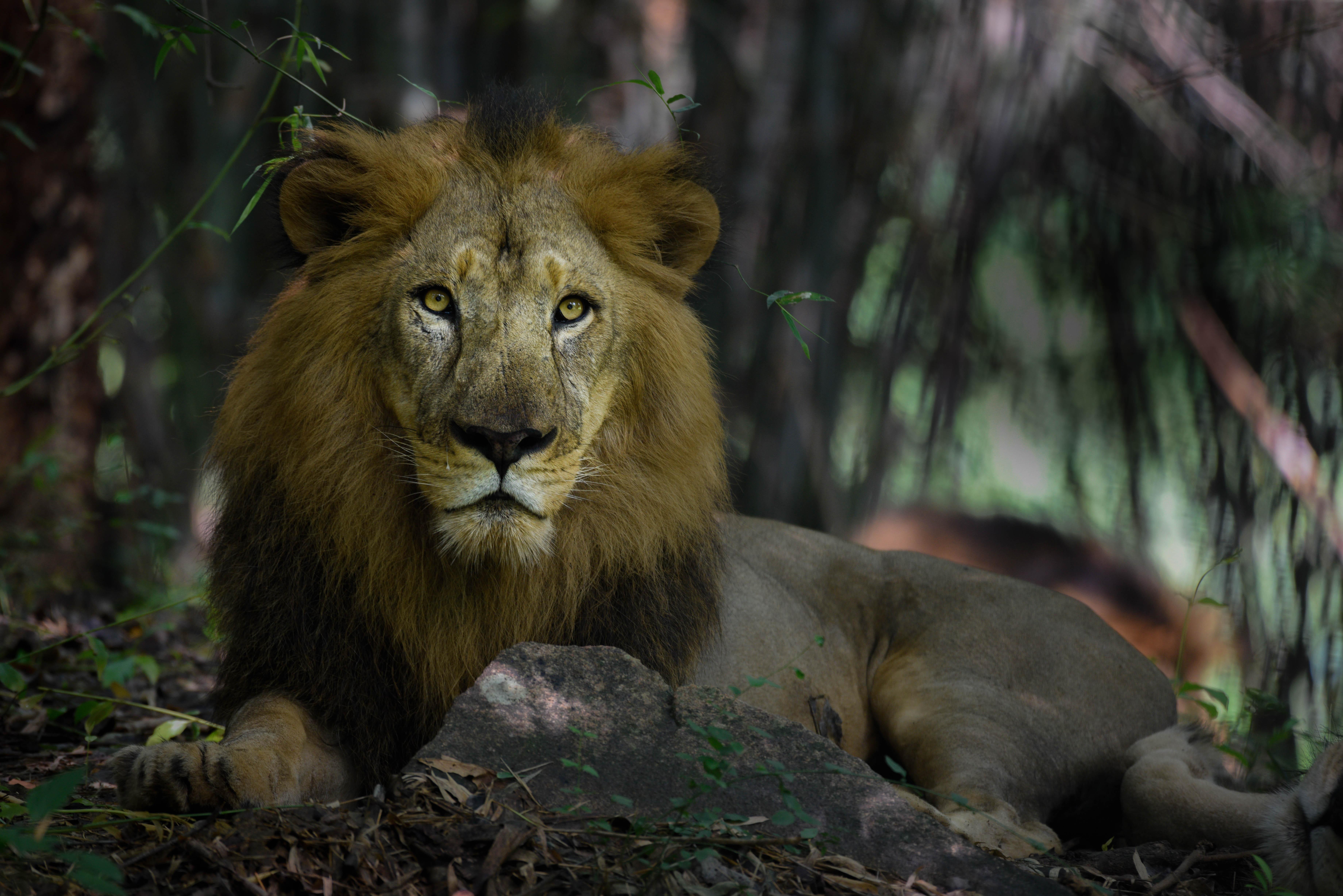 94898 baixar papel de parede Animais, Leão, Um Leão, Predator, Predador, Gato Grande, Juba, Rei Das Feras, Rei Das Bestas - protetores de tela e imagens gratuitamente