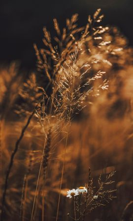 66866 download wallpaper Macro, Grass, Spikelets, Cones, Plants, Field, Flowers screensavers and pictures for free