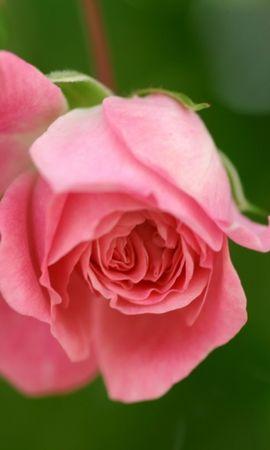 24898 скачать обои Растения, Цветы, Розы - заставки и картинки бесплатно