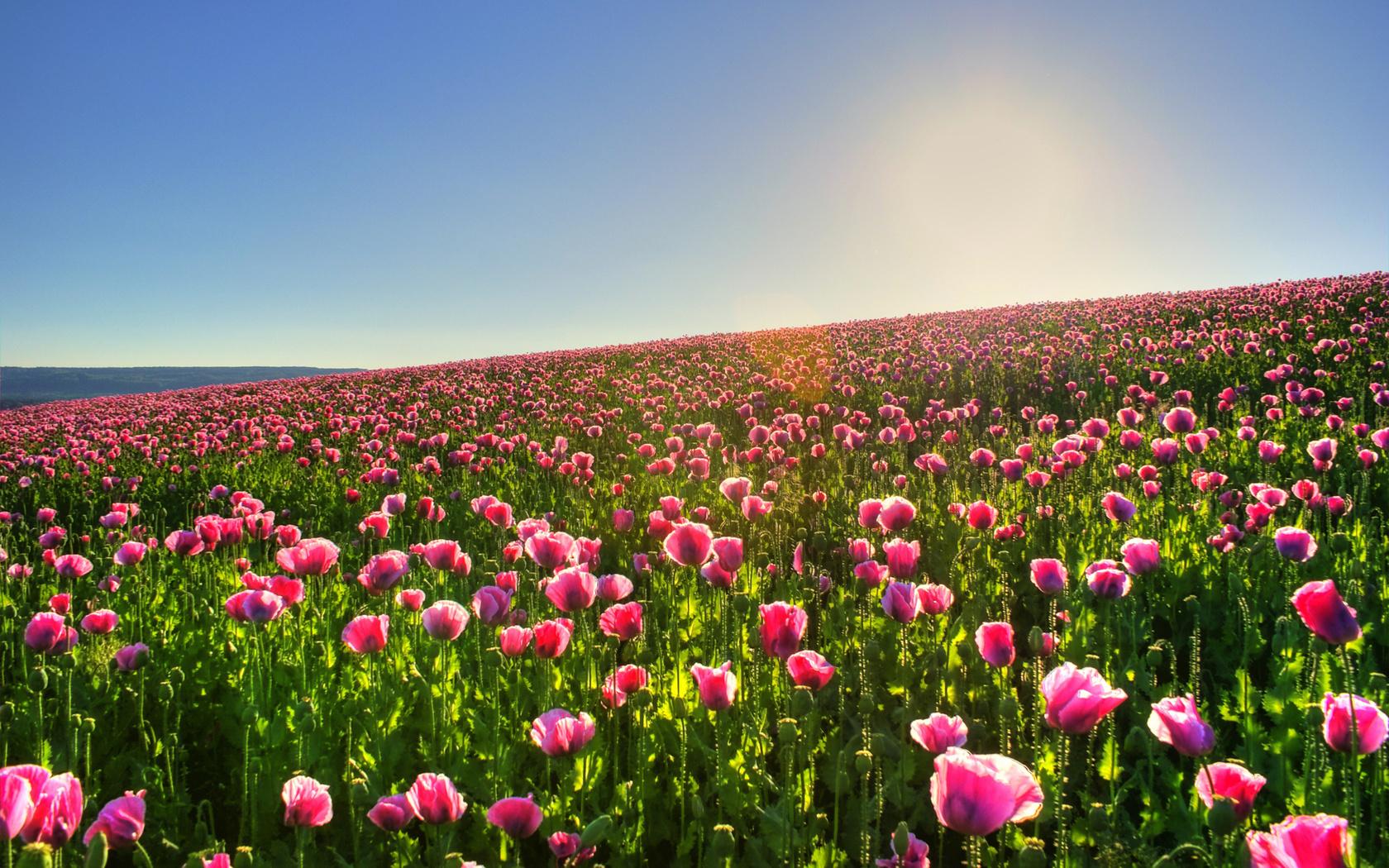 19910 économiseurs d'écran et fonds d'écran Les Champs sur votre téléphone. Téléchargez Plantes, Paysage, Fleurs, Les Champs, Sun, Tulipes images gratuitement