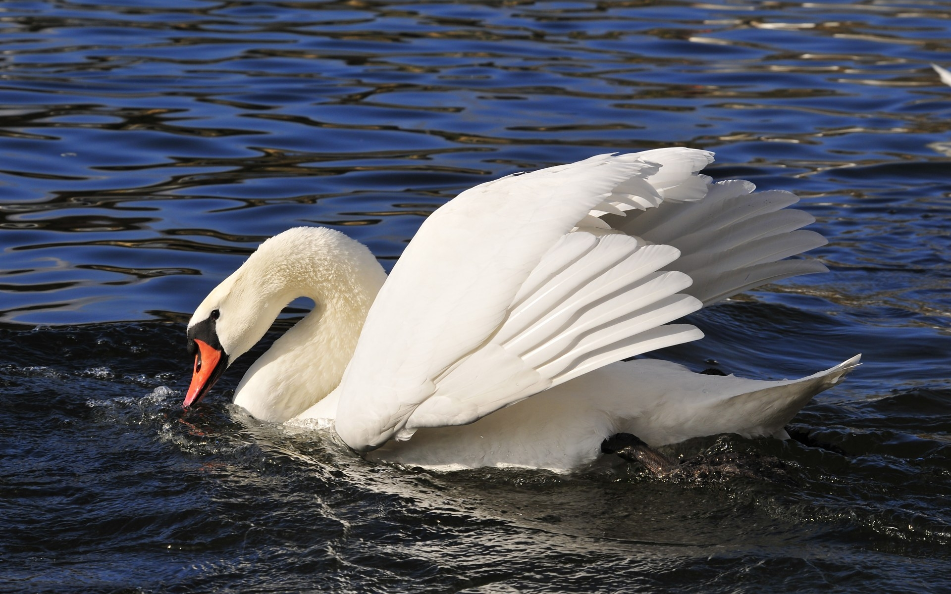 33750 download wallpaper Animals, Birds, Swans screensavers and pictures for free