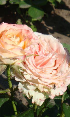 2634 скачать обои Растения, Цветы, Розы - заставки и картинки бесплатно