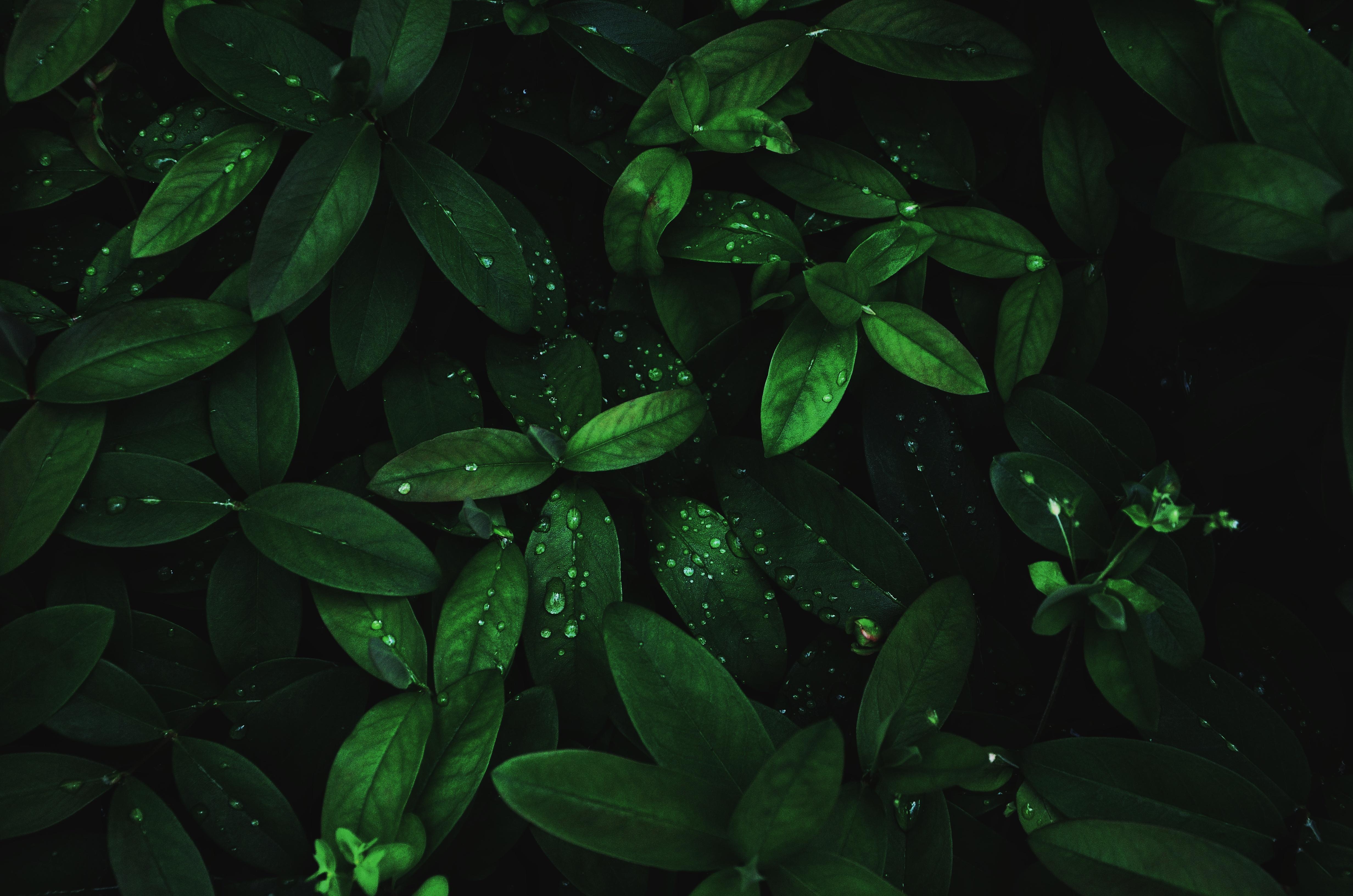 118177 Hintergrundbild herunterladen Makro, Dunkel, Blätter, Drops, Pflanze, Feuchtigkeit, Tau - Bildschirmschoner und Bilder kostenlos