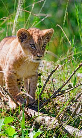 155969 download wallpaper Animals, Lion, Young, Joey, Sight, Opinion, Grass screensavers and pictures for free