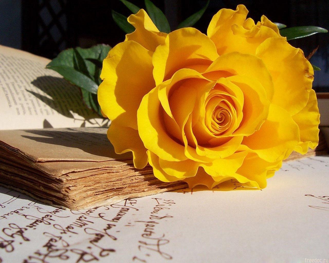 2952 скачать обои Растения, Цветы, Розы - заставки и картинки бесплатно