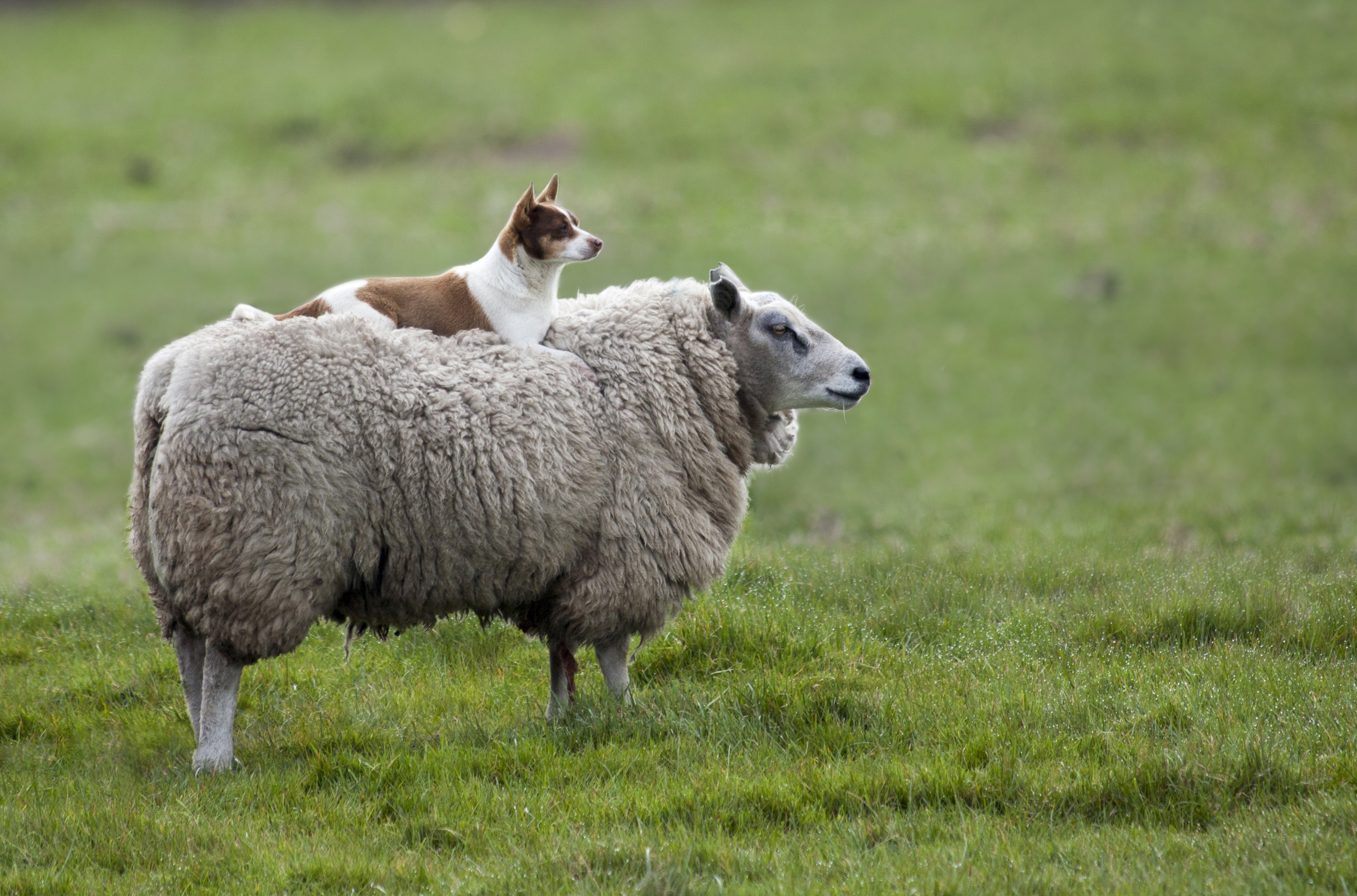 155987 Screensavers and Wallpapers Sheep for phone. Download Animals, Grass, Dog, Sheep pictures for free