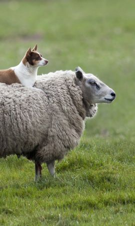 155987 download wallpaper Animals, Sheep, Dog, Grass screensavers and pictures for free