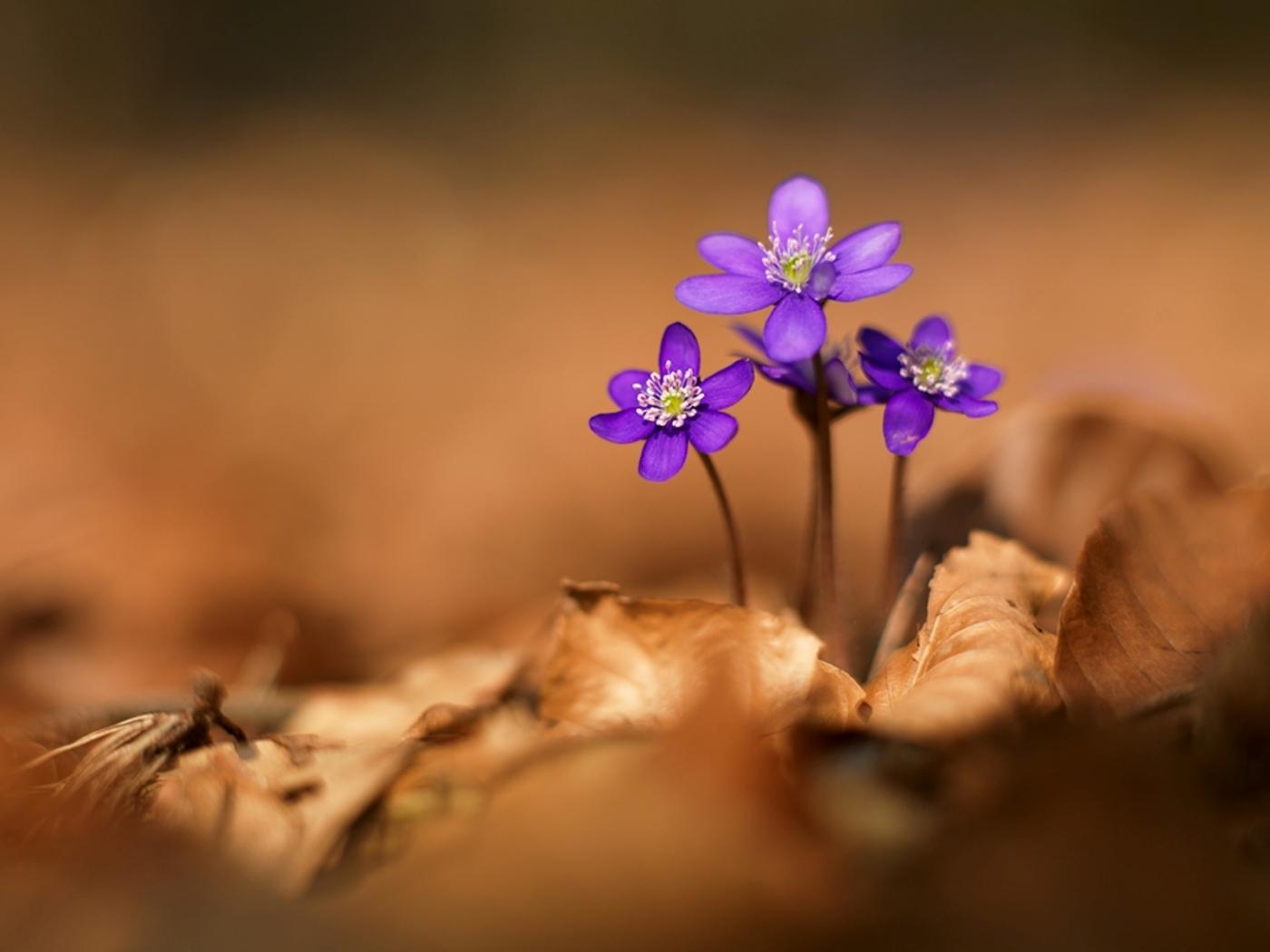 42342 Заставки и Обои Фиалки на телефон. Скачать Растения, Цветы, Фиалки картинки бесплатно