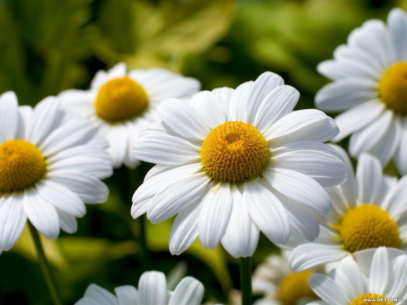 6849 скачать обои Растения, Цветы, Ромашки - заставки и картинки бесплатно