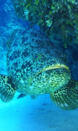117354壁紙のダウンロード動物, ゴリアテ, 魚, 水中の世界, 水中ワールド-スクリーンセーバーと写真を無料で
