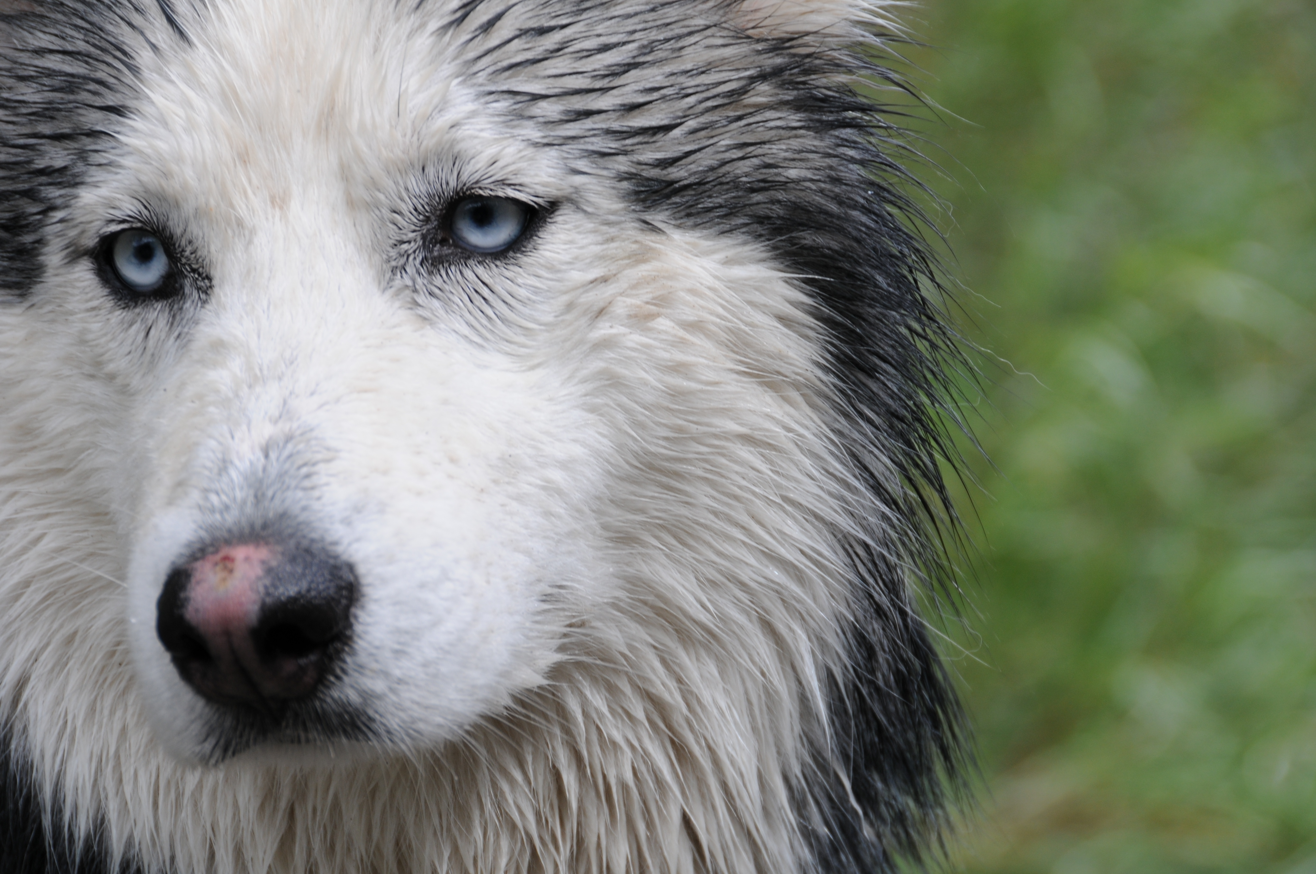 55673 Screensavers and Wallpapers Husky for phone. Download Husky, Animals, Dog, Muzzle, Wet pictures for free