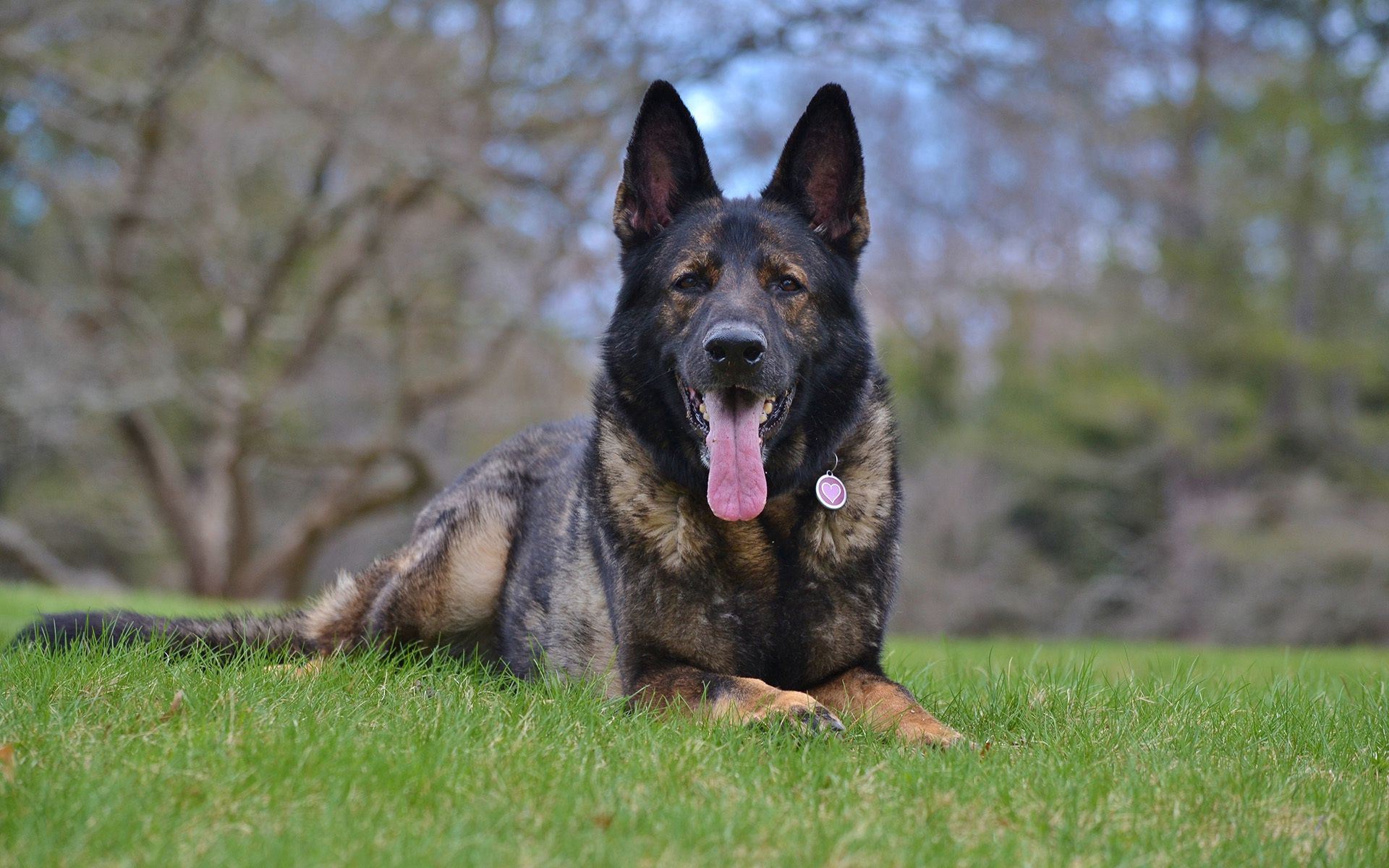 146008 download wallpaper Dog, Animals, Muzzle, Protruding Tongue, Tongue Stuck Out, German Shepherd screensavers and pictures for free