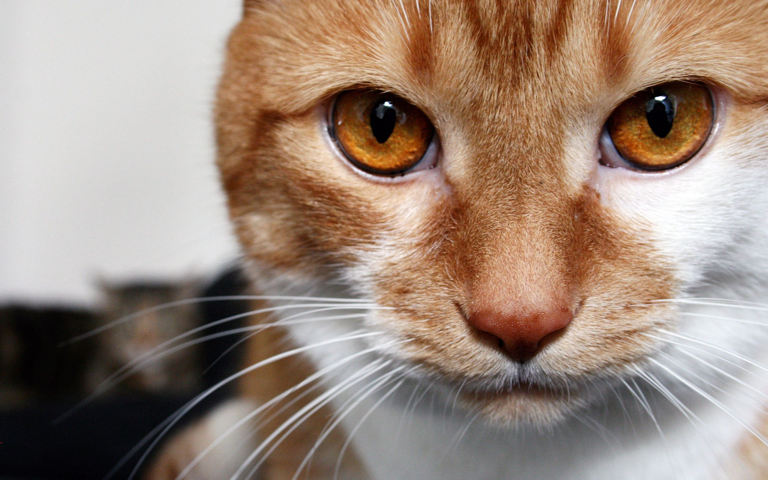 154071 download wallpaper Animals, Cat, Redhead, Looks, Brown Eyes, Striped screensavers and pictures for free