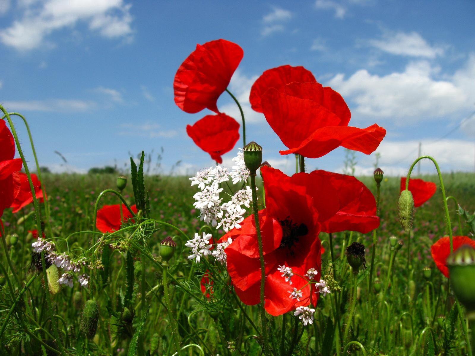 153390 скачать обои Цветы, Маки, Поляна, Небо, Природа, Зелень - заставки и картинки бесплатно