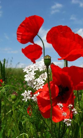 153390 baixar papel de parede Flores, Papoulas, Polyana, Clareira, Céu, Natureza, Verdes, Verdura - protetores de tela e imagens gratuitamente