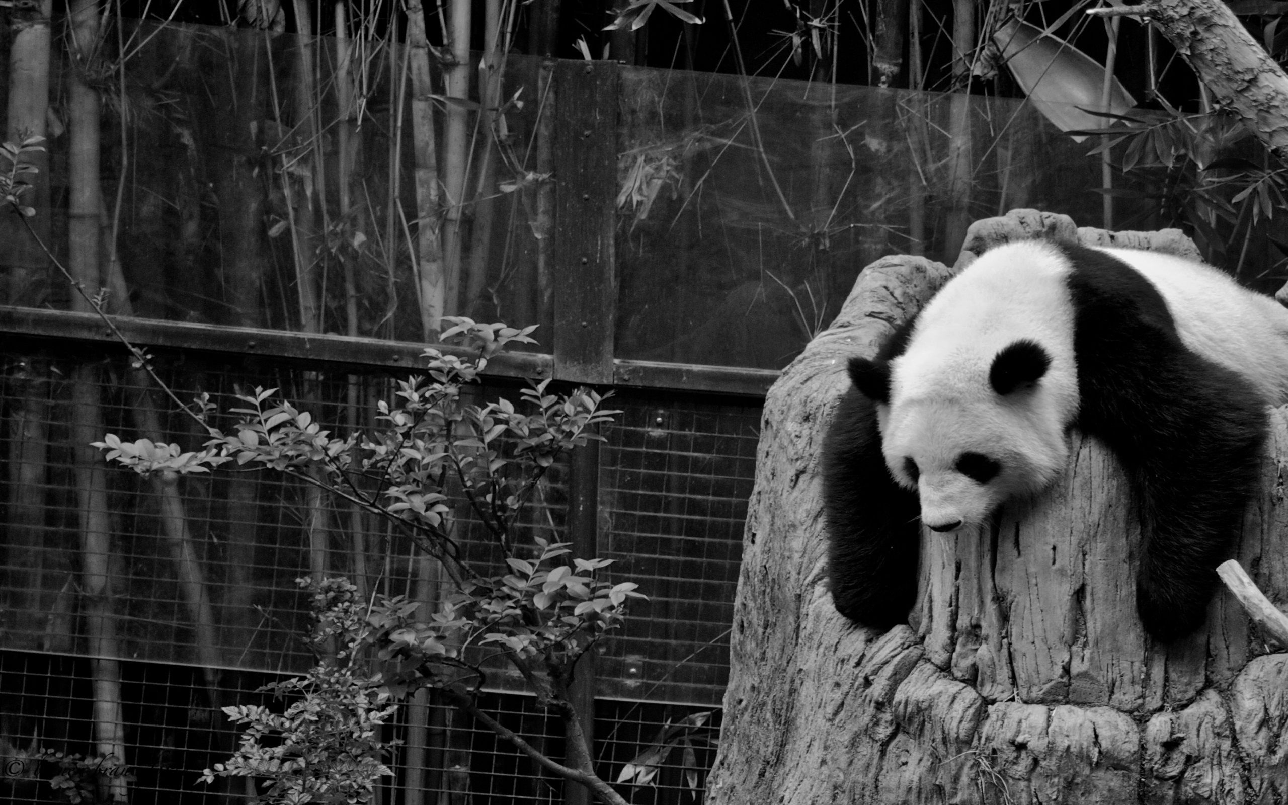 144767 download wallpaper Animals, Panda, Sleep, Dream, Reserve, Hollow, Bw, Chb screensavers and pictures for free