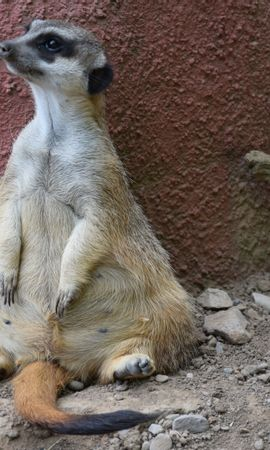 142599 download wallpaper Animals, Meerkat, Surikat, Is Sitting, Sits, Cool screensavers and pictures for free