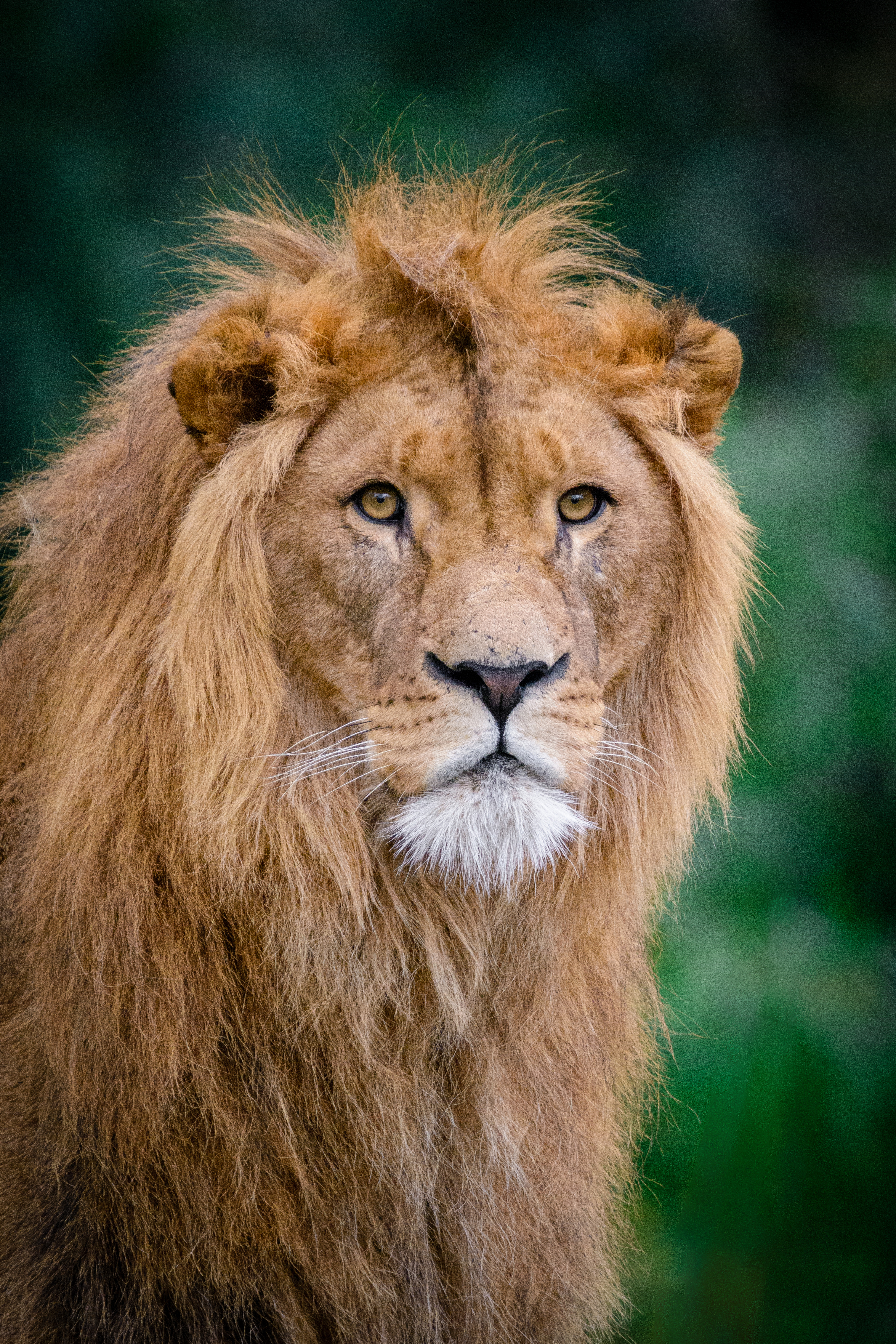 92471 download wallpaper Animals, Lion, King Of Beasts, King Of The Beasts, Muzzle screensavers and pictures for free