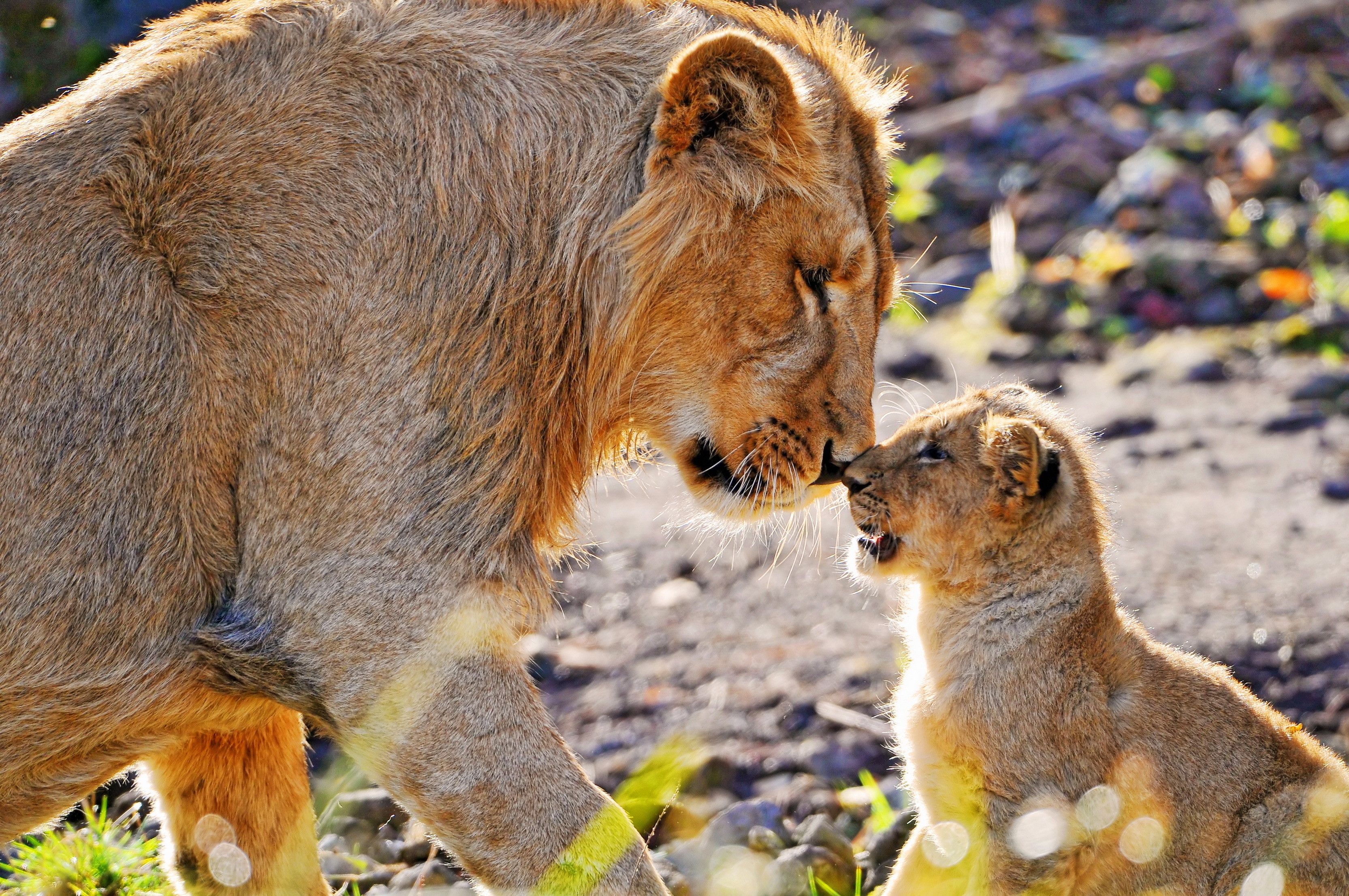 69428 Screensavers and Wallpapers Young for phone. Download Animals, Young, Lion, Predator, Lioness, Care, Joey, Tenderness, Lion Cub, Attention pictures for free