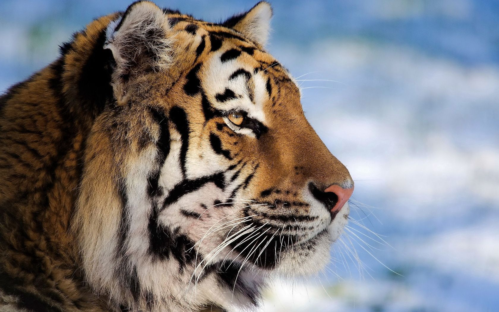 92397 скачать обои Животные, Тигр, Морда, Профиль, Полосатый, Большая Кошка - заставки и картинки бесплатно