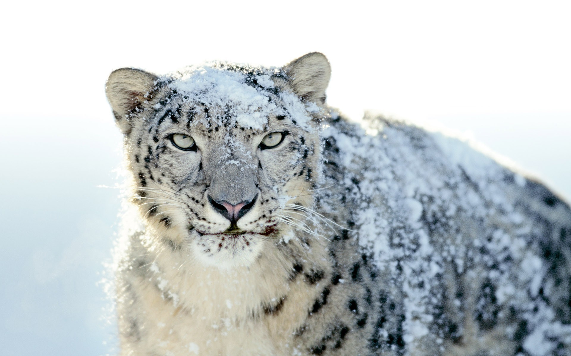 39751 download wallpaper Animals, Snow Leopard screensavers and pictures for free