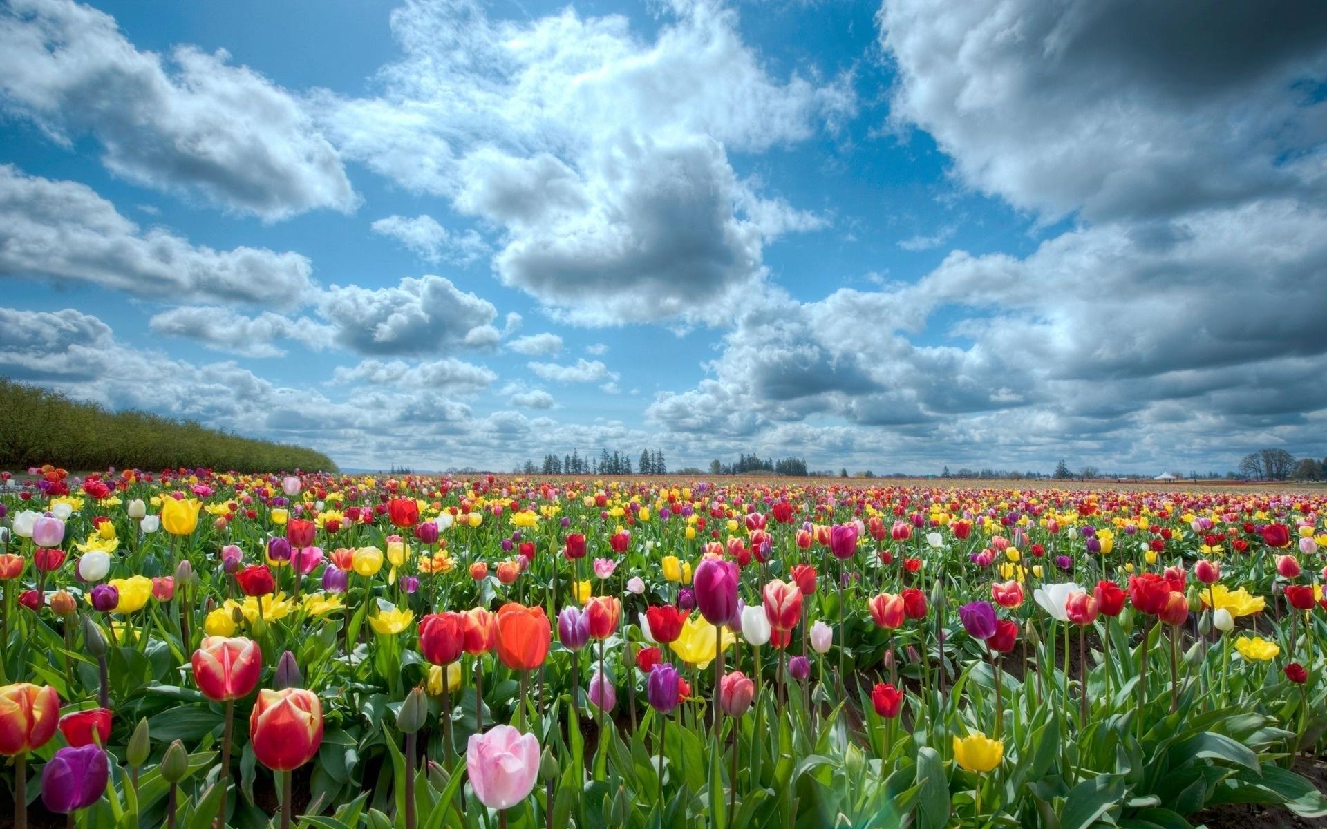 48410 скачать обои Пейзаж, Природа, Цветы, Поля, Тюльпаны - заставки и картинки бесплатно