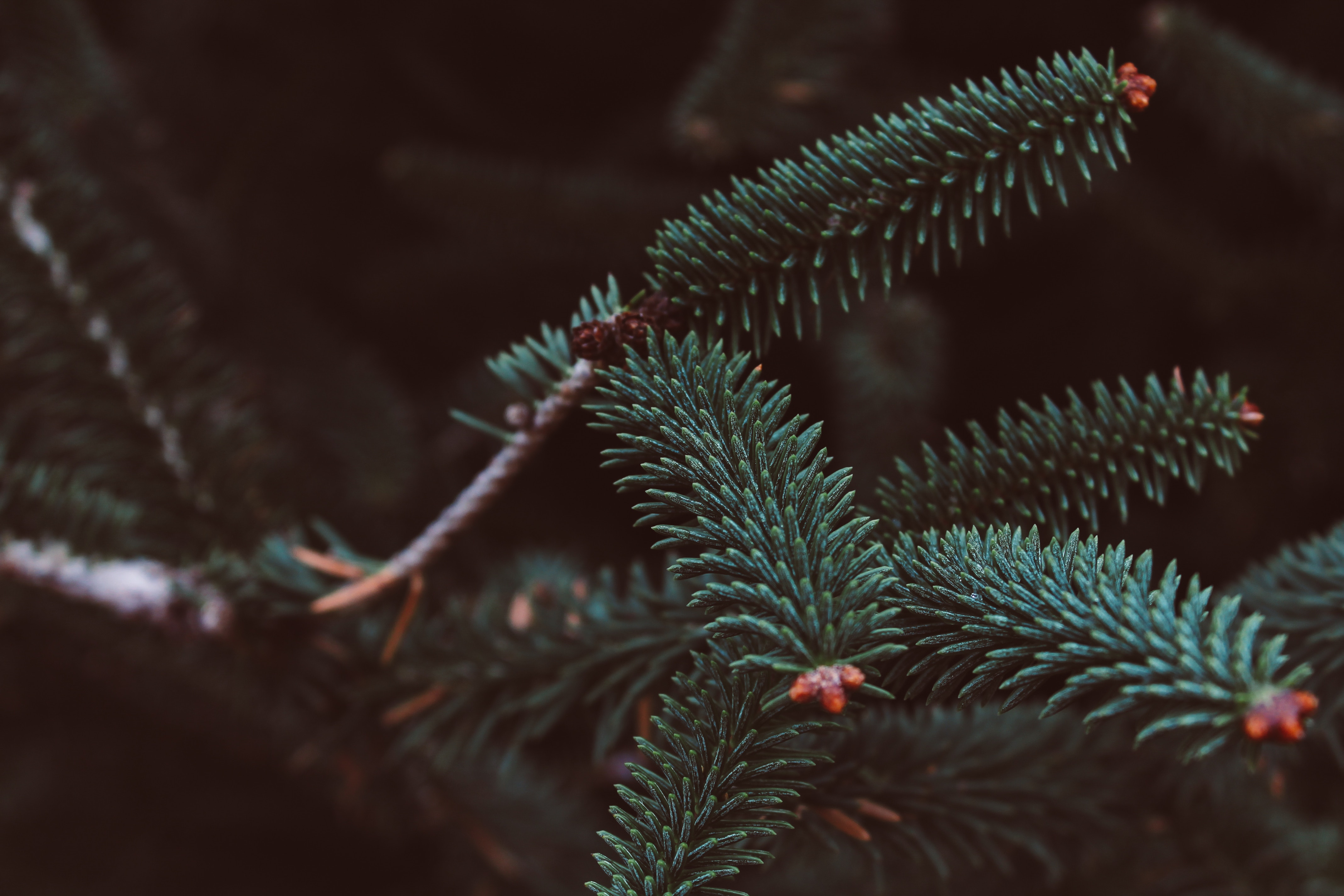 91069 Screensavers and Wallpapers Spruce for phone. Download Needle, Macro, Blur, Smooth, Branch, Spruce, Fir pictures for free