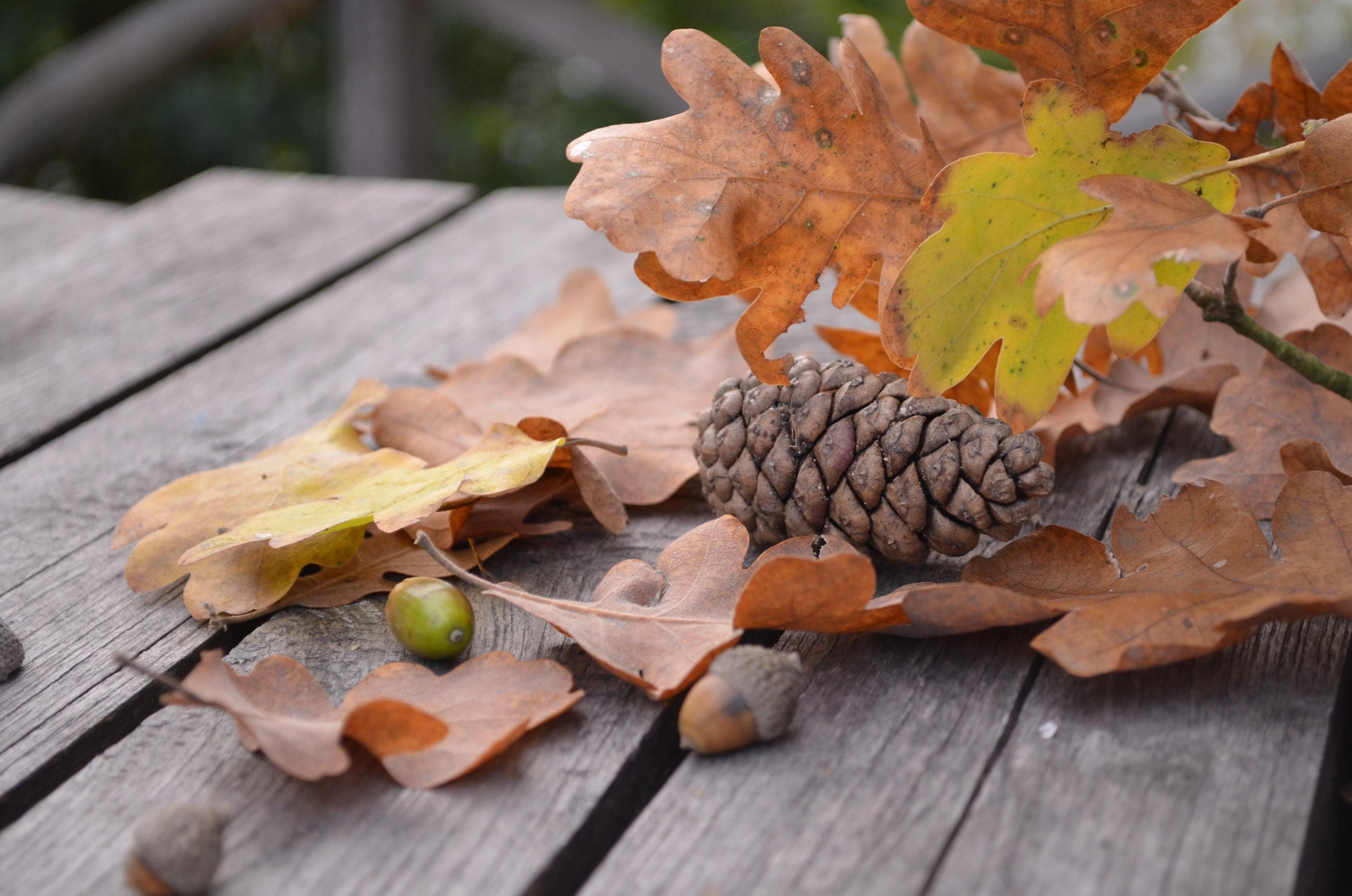 Laden Sie das kostenlose Hintergrundbild 81648: Herbst, Natur, Laub, Kegel, Beule, Eiche, Eichel Hintergrundbild für das Handy herunter