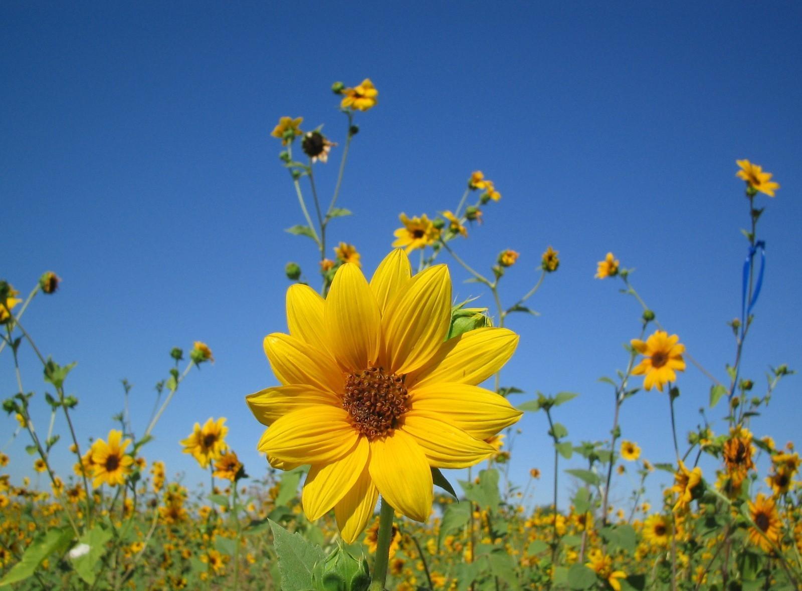 69395 скачать обои Цветы, Маленькие, Поле, Небо, Крупный План, Подсолнухи - заставки и картинки бесплатно