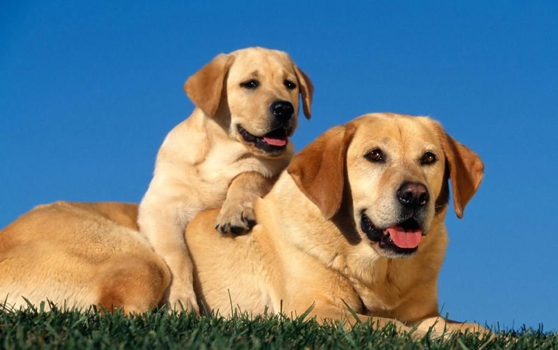 57528 скачать обои Животные, Собаки, Лабрадоры, Пара, Детеныш, Щенок, Забота - заставки и картинки бесплатно