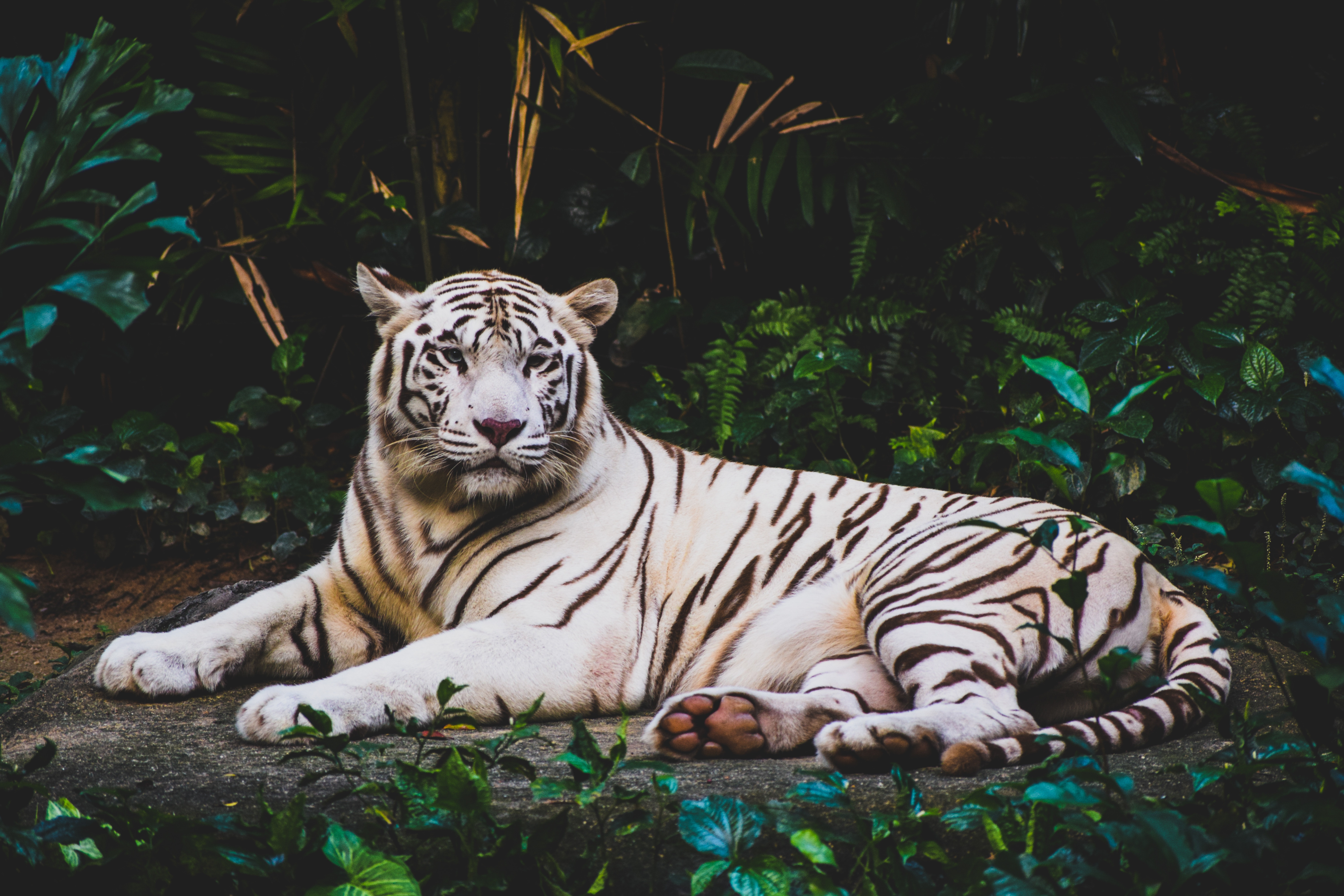 70932 download wallpaper Animals, Lies, Predator, Tiger screensavers and pictures for free