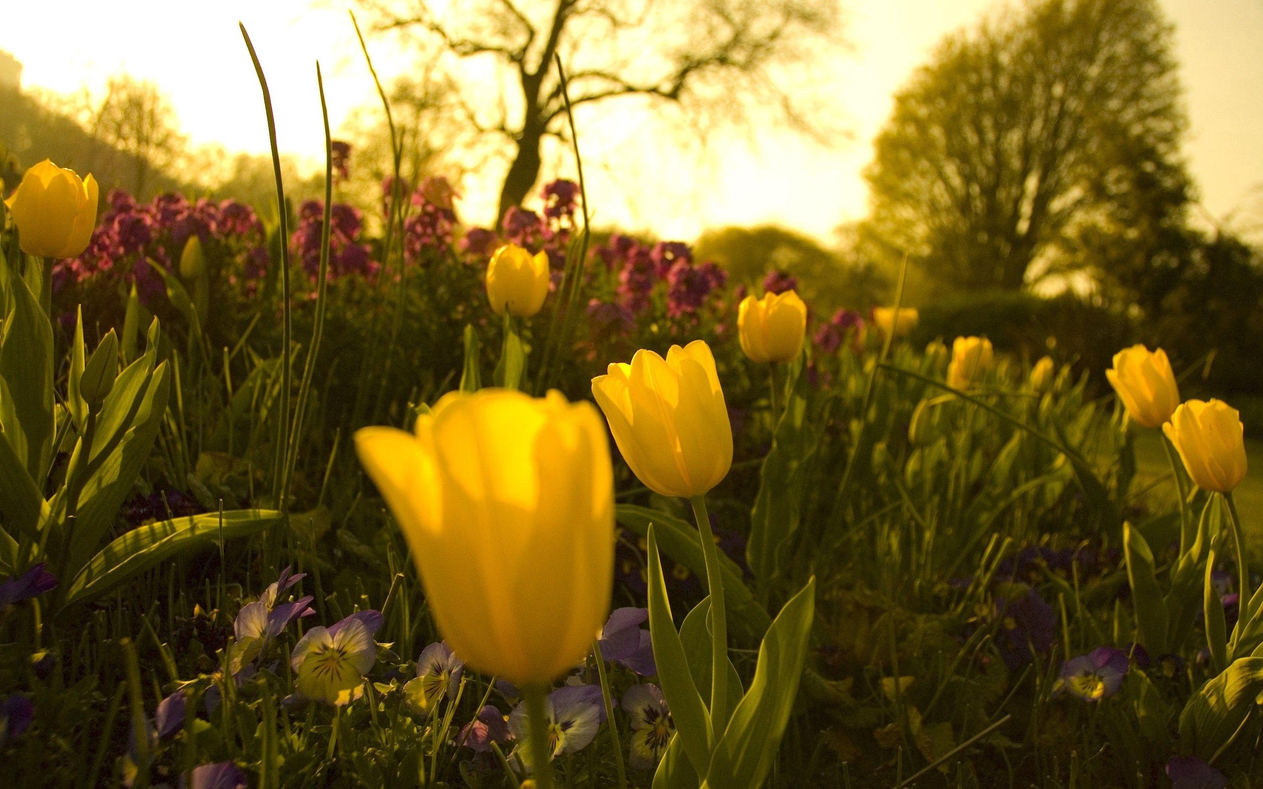 88869 скачать обои Цветы, Клумба, Зелень, Вечер, Сад, Тюльпаны, Анютины Глазки - заставки и картинки бесплатно