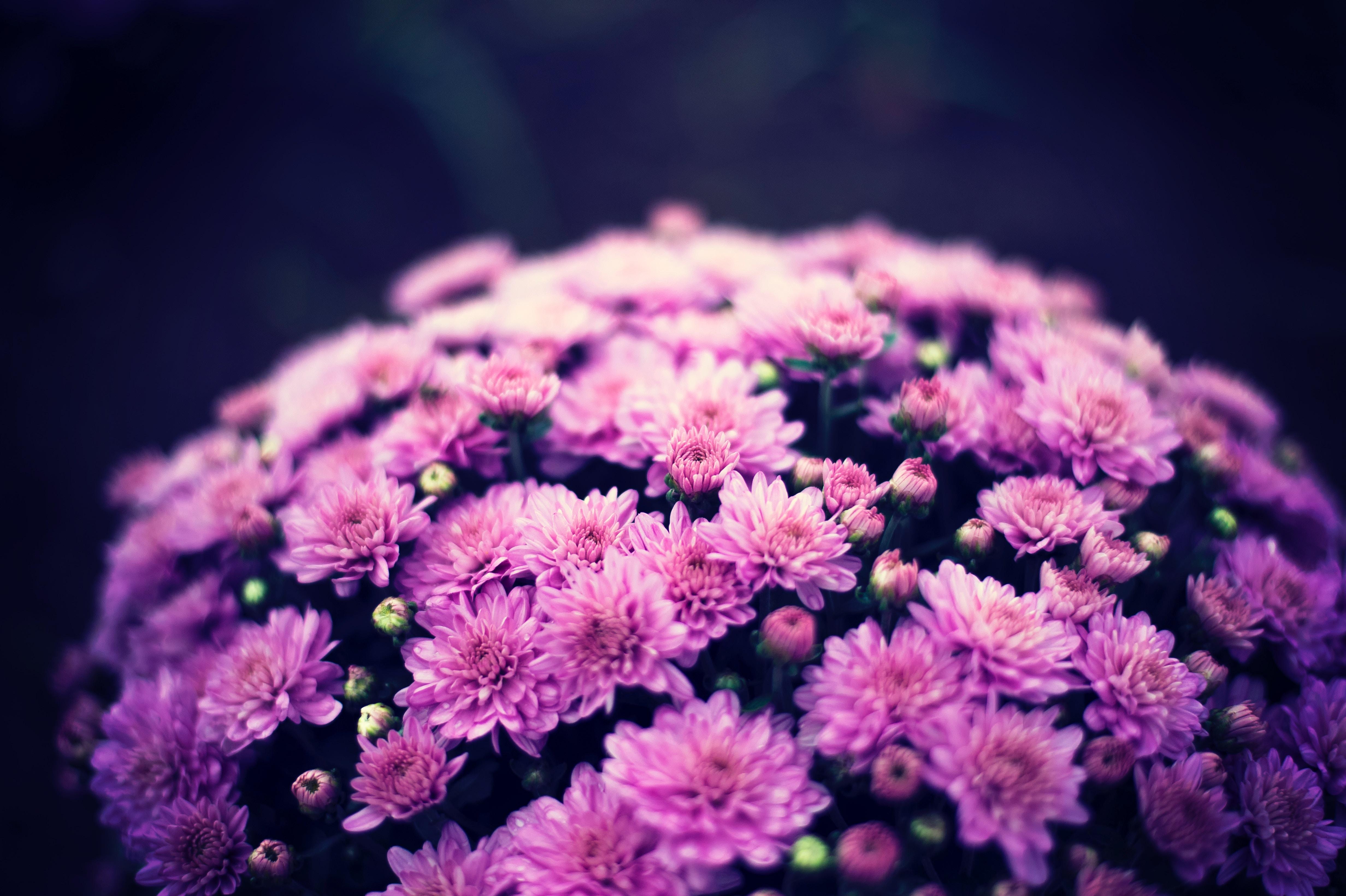 78053 скачать обои Цветы, Букет, Пурпурный, Цветение, Хризантемы - заставки и картинки бесплатно
