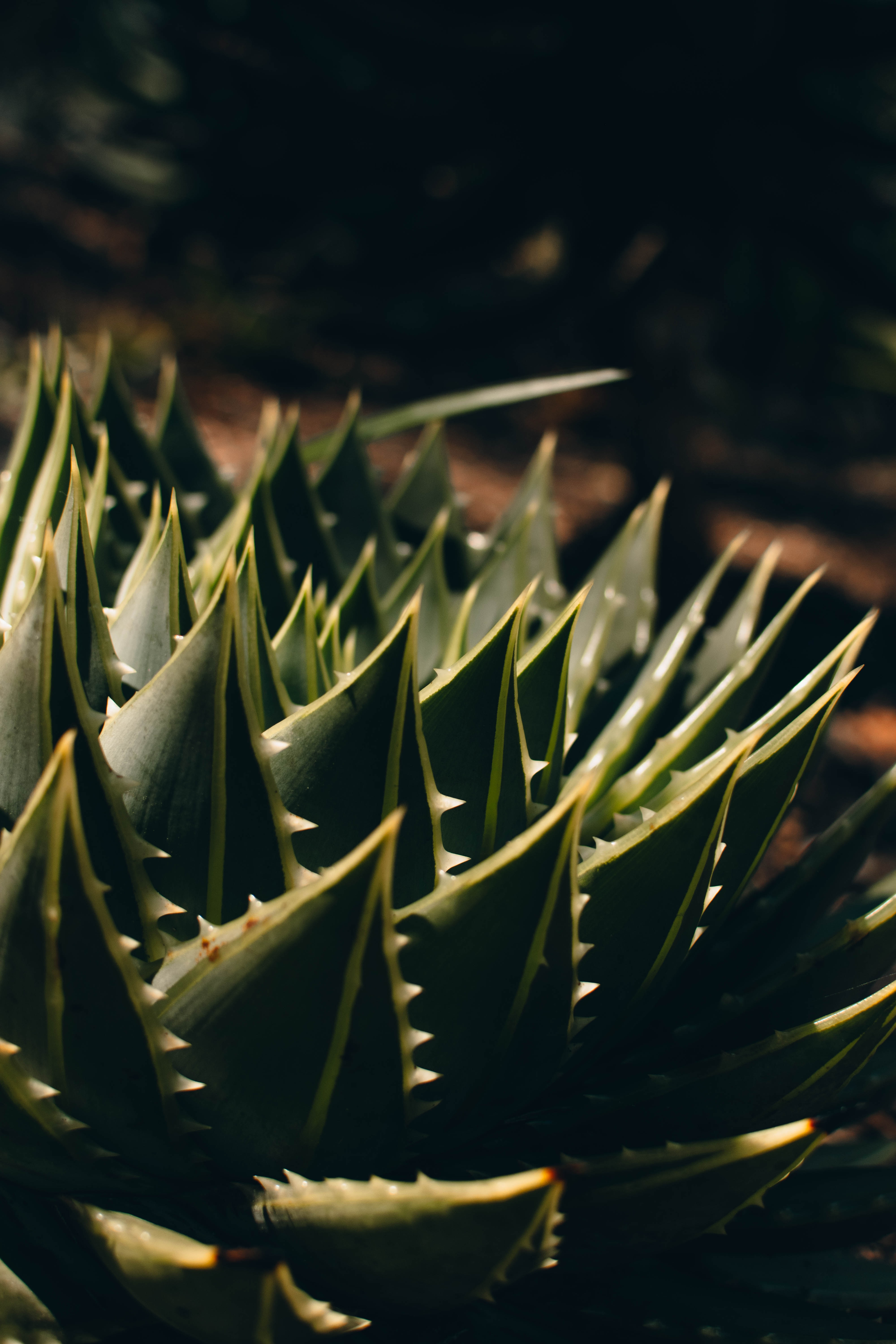 127177 download wallpaper Plant, Macro, Barbed, Spiny, Succulent, Aloe screensavers and pictures for free
