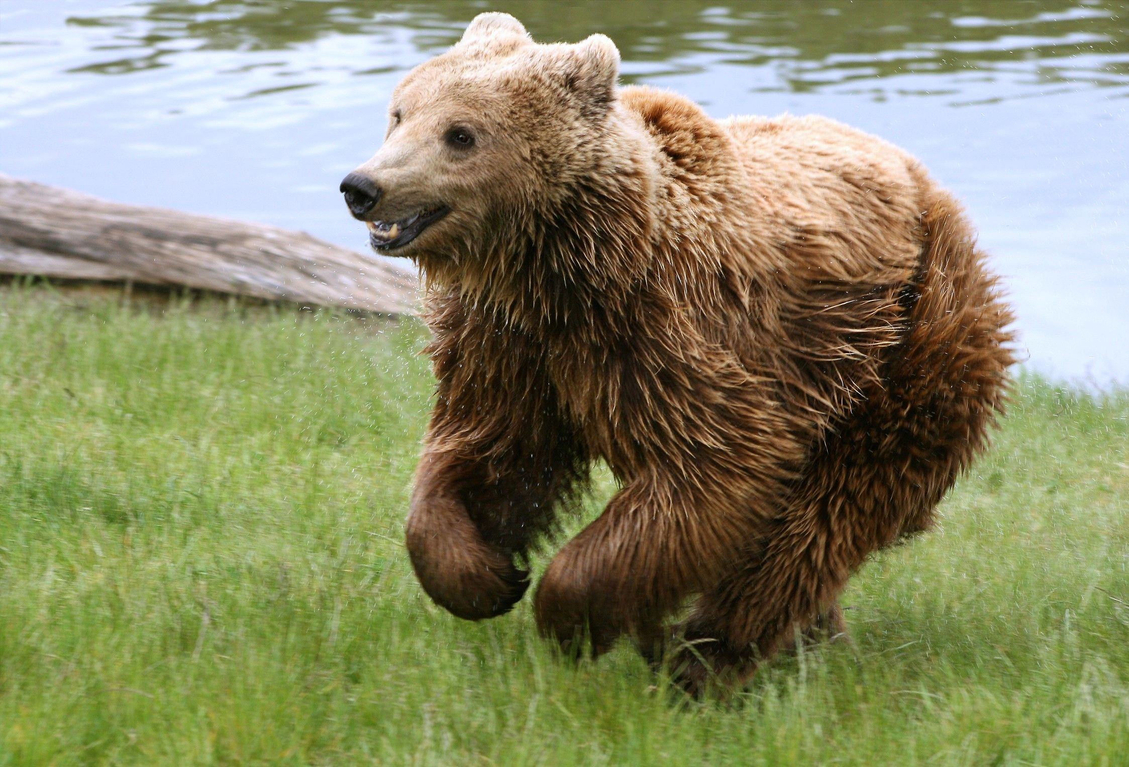 74027 Screensavers and Wallpapers Bear for phone. Download Animals, Bear, Stroll, Run Away, Run pictures for free