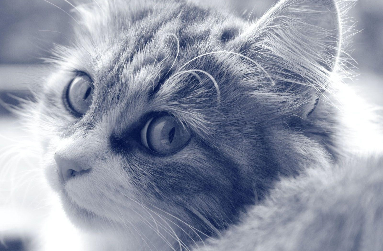 128055 download wallpaper Animals, Cat, Muzzle, Fluffy, Sight, Opinion, Bw, Chb screensavers and pictures for free