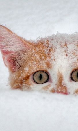 6501 download wallpaper Animals, Cats, Snow screensavers and pictures for free