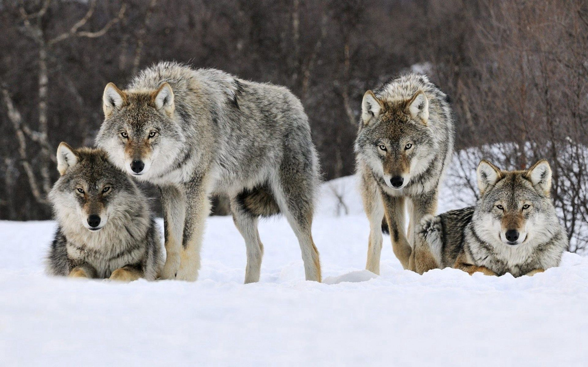 64601 download wallpaper Animals, Wolfs, Snow, Flock, Predator screensavers and pictures for free