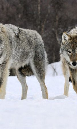 64601 baixar papel de parede Animais, Lobos, Neve, Rebanho, Predator, Predador - protetores de tela e imagens gratuitamente