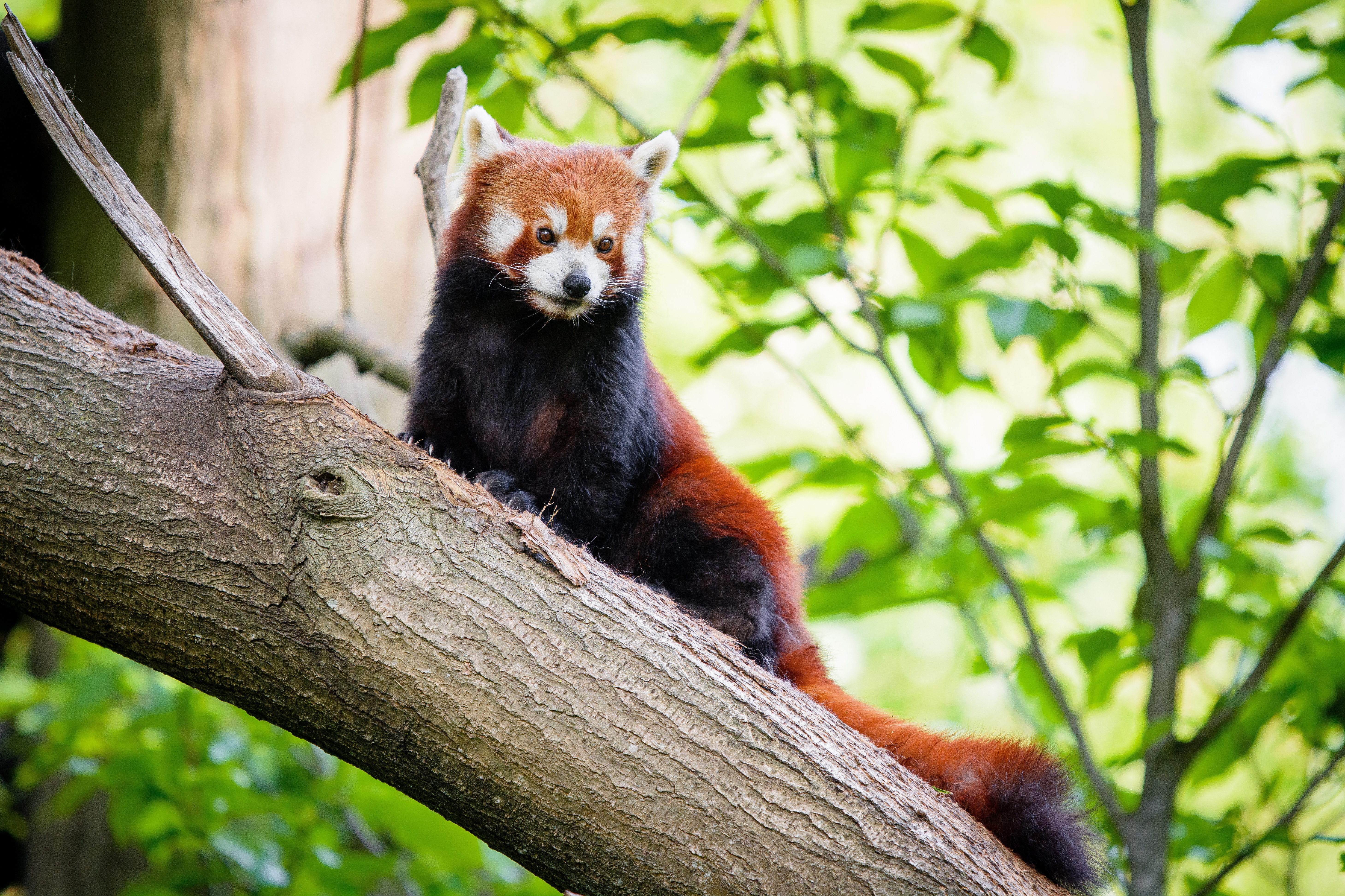 56950 download wallpaper Animals, Red Panda, Panda, Wood, Tree, Sight, Opinion screensavers and pictures for free