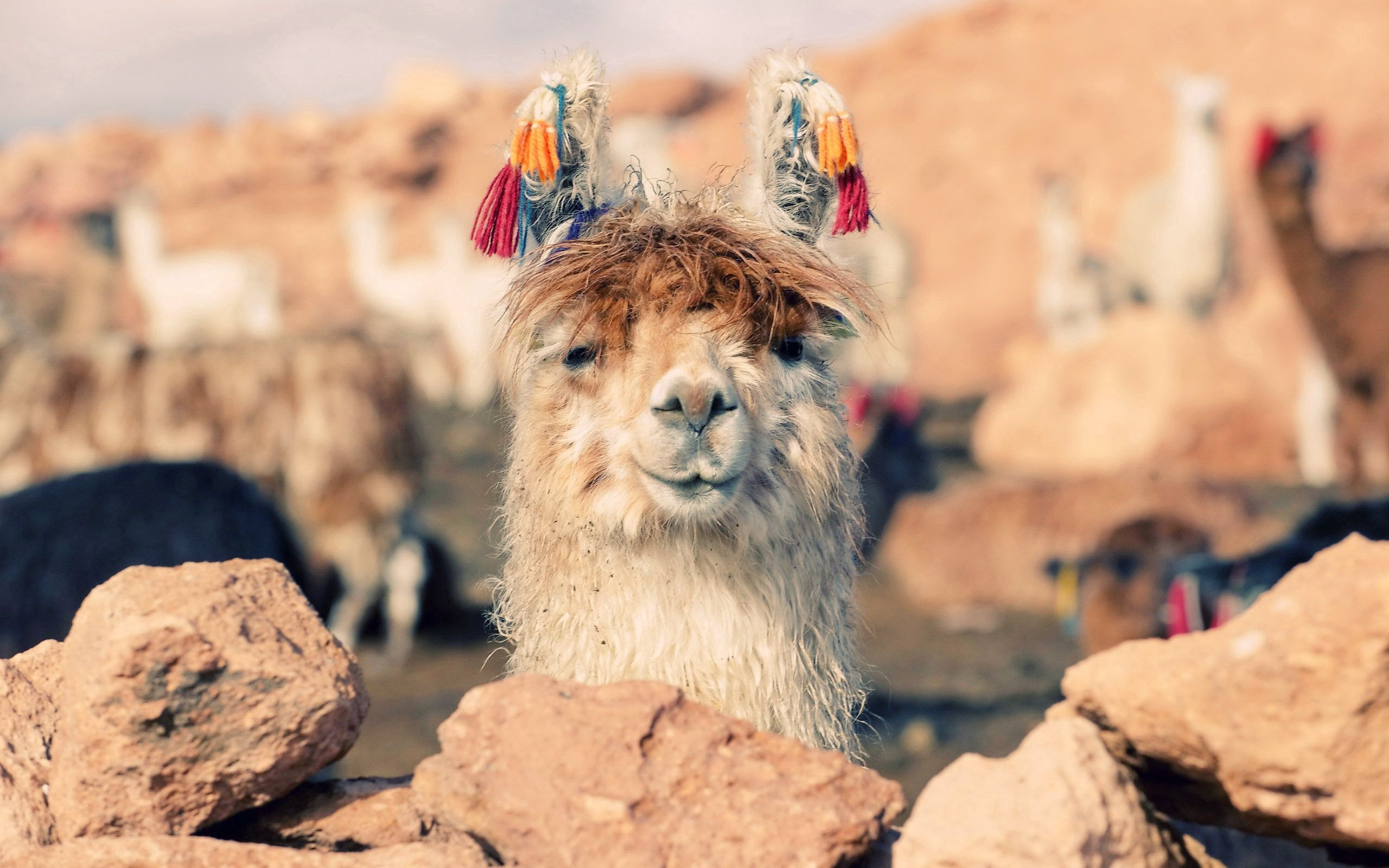141858 Screensavers and Wallpapers Nose for phone. Download Animals, Stones, Muzzle, Nose, Llama, Lama pictures for free