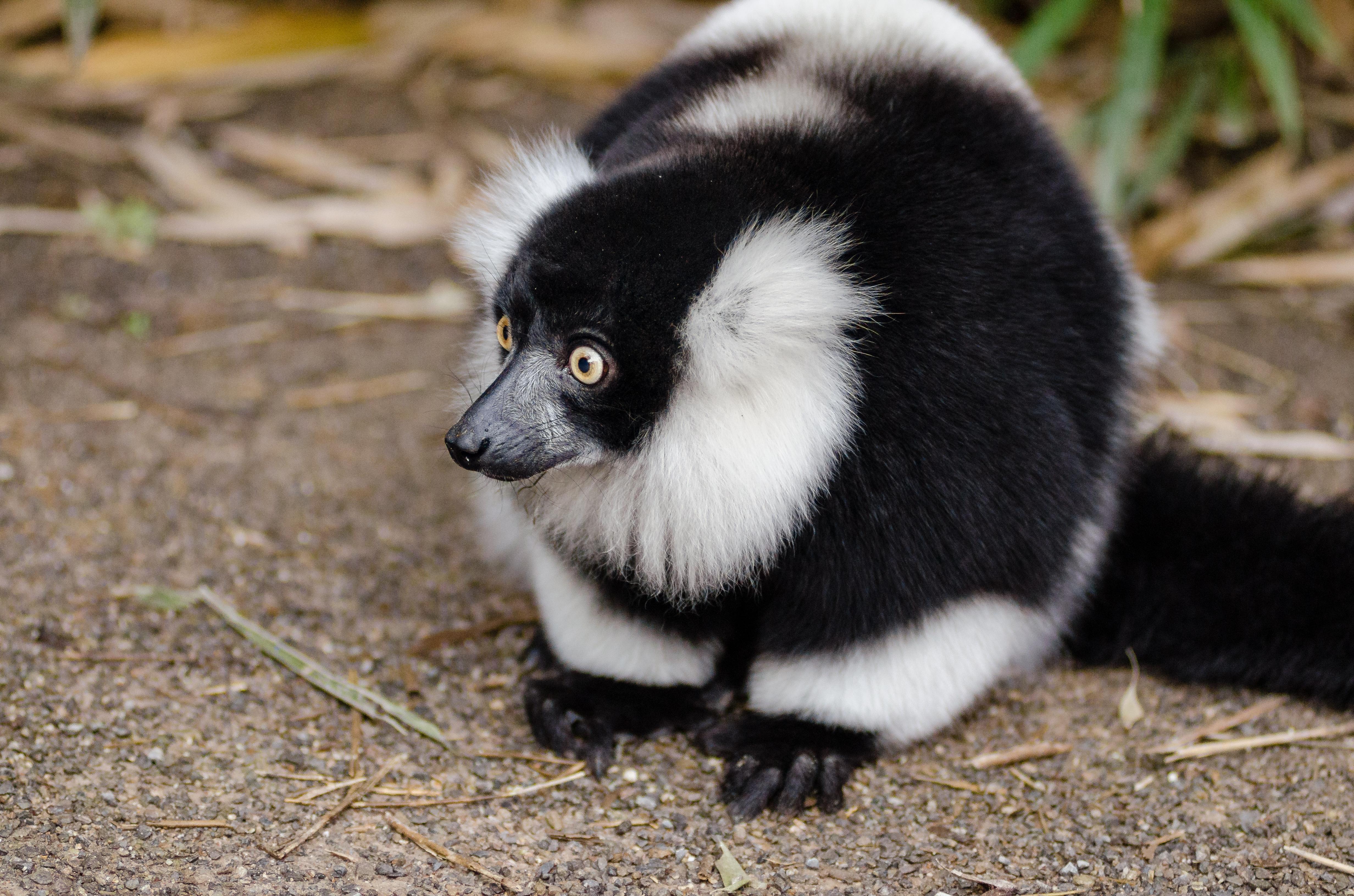 102612 download wallpaper Animals, Lemur Cook, Lemur Vari, Lemur, Surprise, Astonishment screensavers and pictures for free