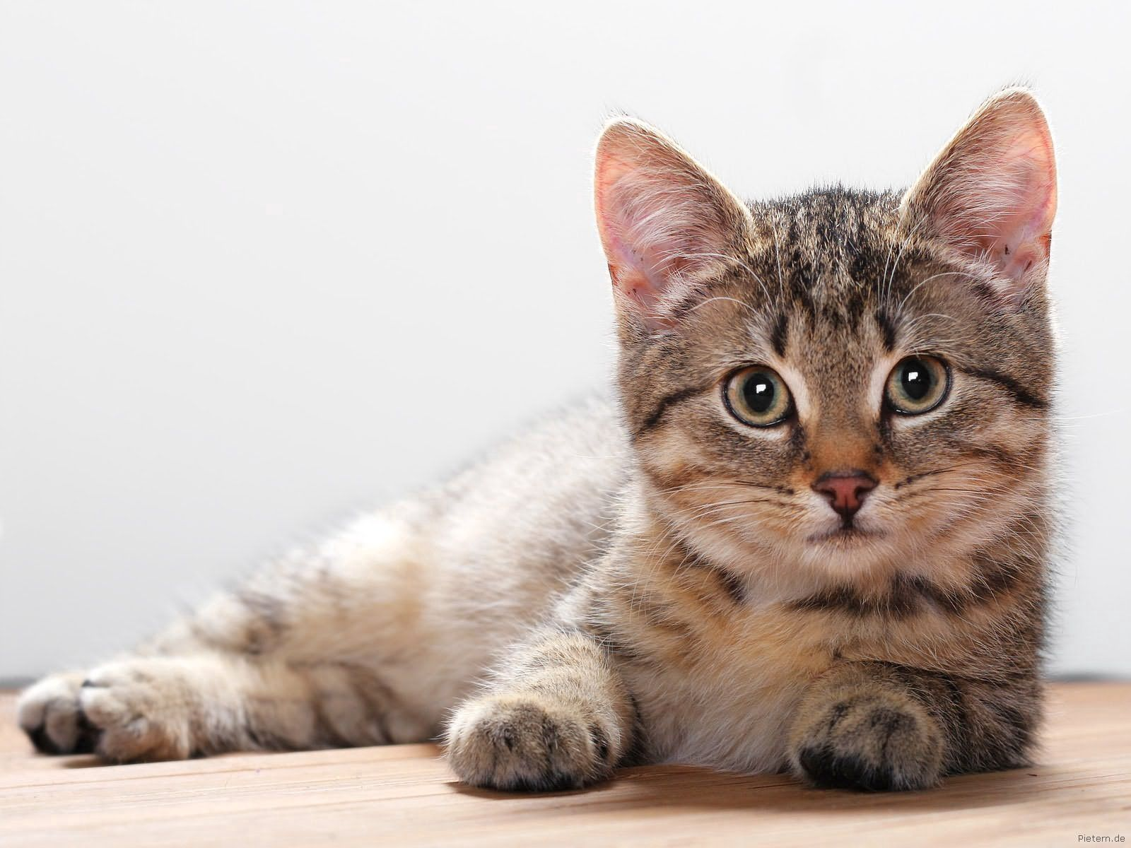 124730 download wallpaper Animals, Kitty, Kitten, To Lie Down, Lie, Muzzle screensavers and pictures for free
