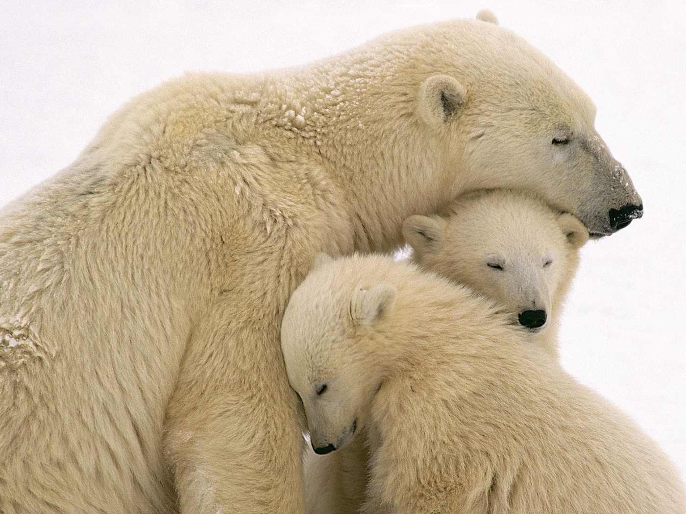 34370 download wallpaper Animals, Bears screensavers and pictures for free