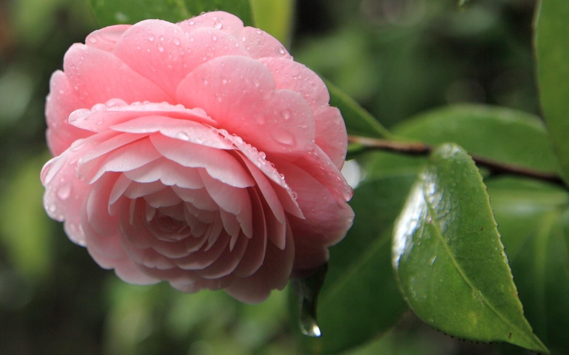 23758 télécharger le fond d'écran Plantes, Fleurs, Roses, Drops - économiseurs d'écran et images gratuitement