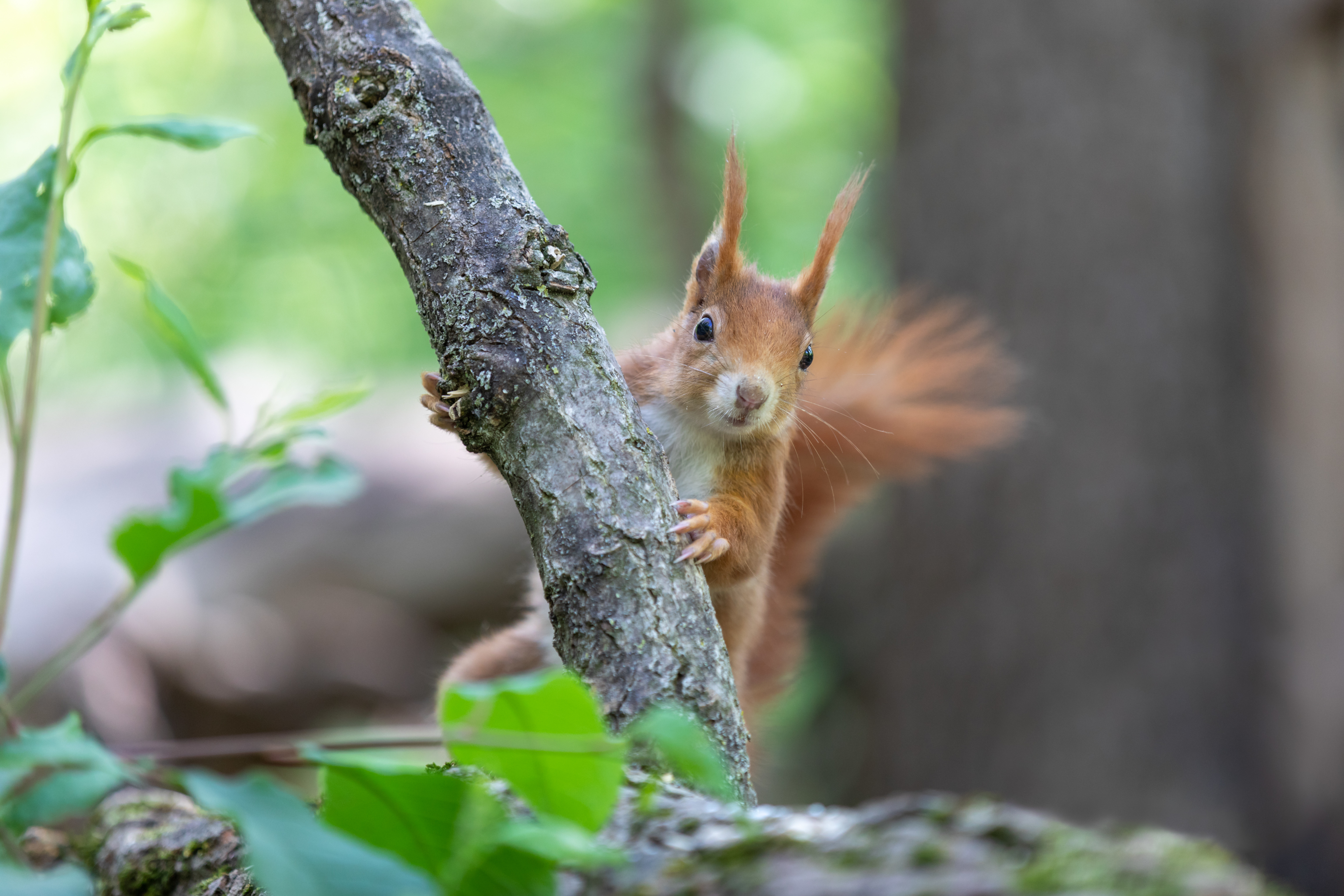131198 download wallpaper Animals, Squirrel, Rodent, Nice, Sweetheart, Fluffy screensavers and pictures for free