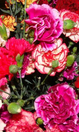 44786 скачать обои Растения, Цветы, Гвоздики - заставки и картинки бесплатно