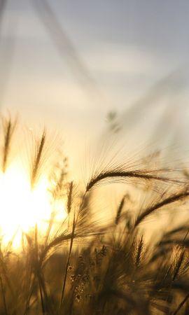50148 скачать обои Пейзаж, Природа, Пшеница - заставки и картинки бесплатно
