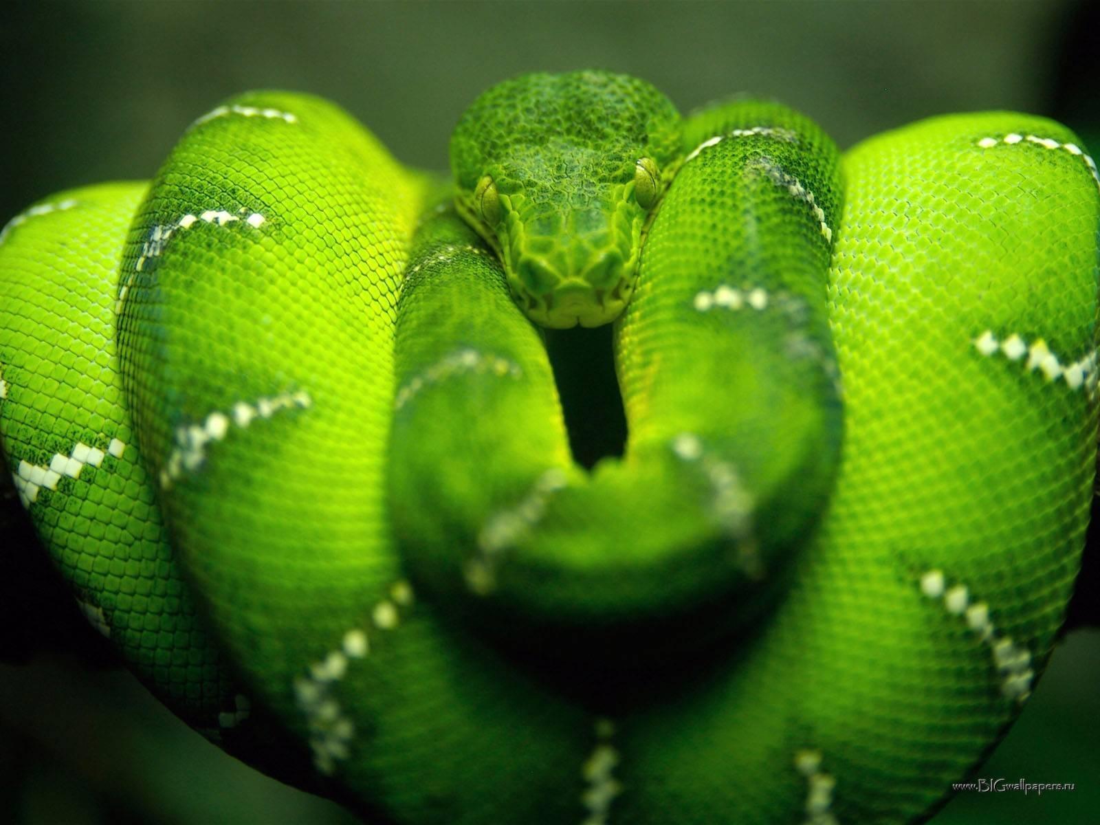 681 скачать обои Животные, Змеи - заставки и картинки бесплатно