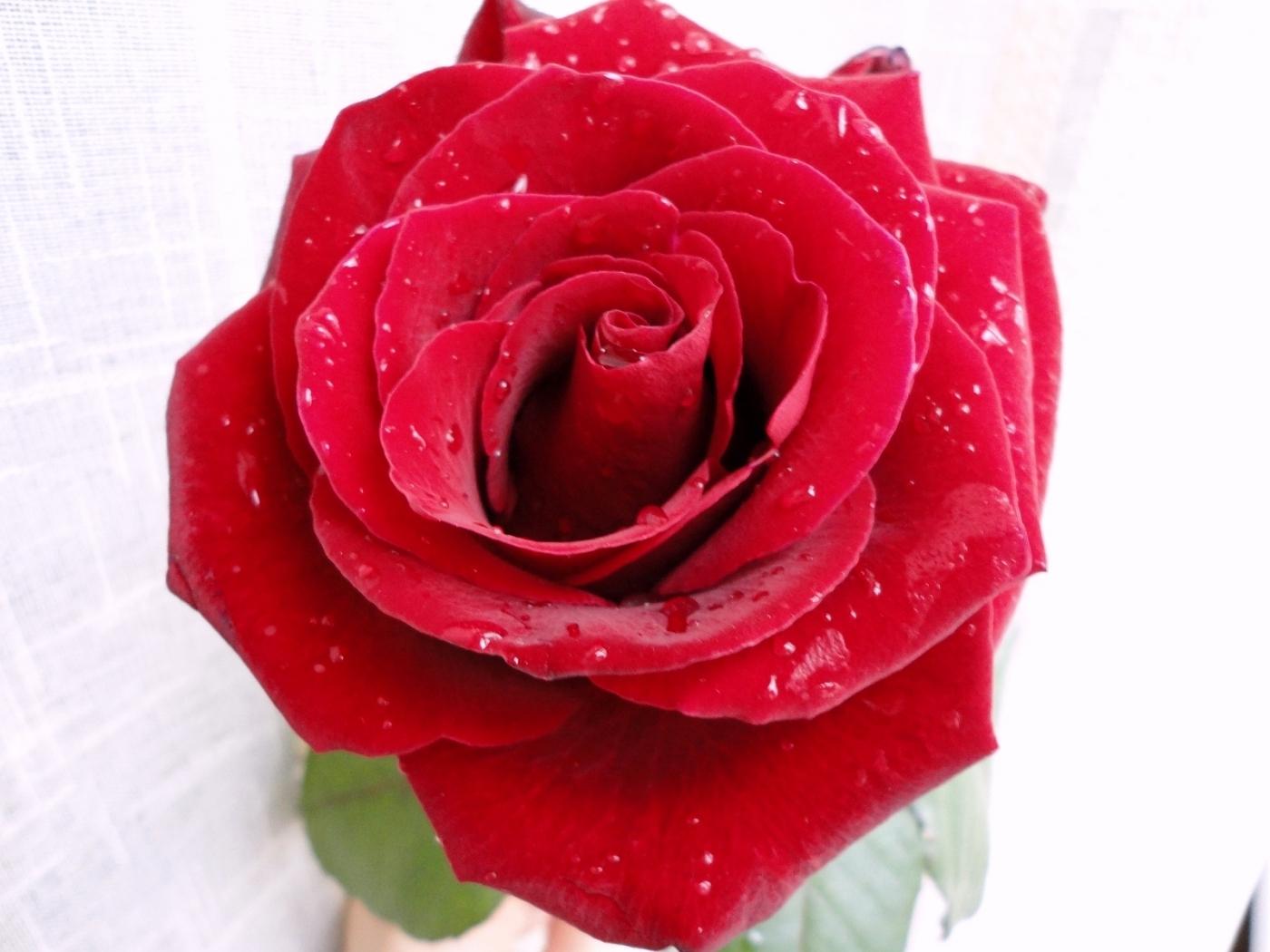 44821 скачать обои Растения, Цветы, Розы - заставки и картинки бесплатно